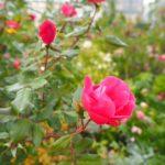 横浜・山下公園のバラ