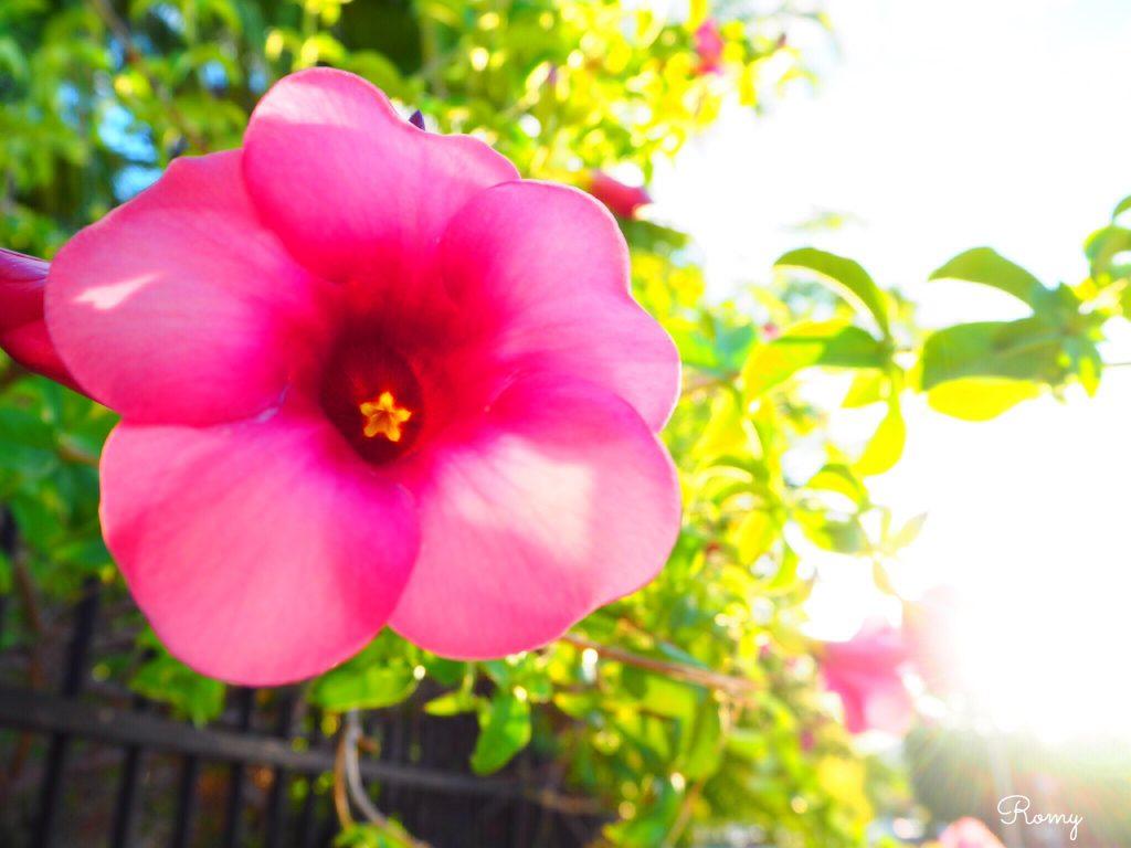オーストラリア・ケアンズの花