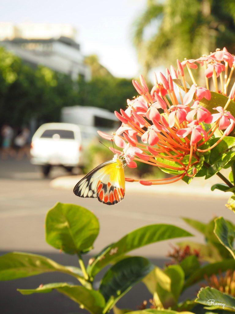 オーストラリア・ケアンズで見た蝶
