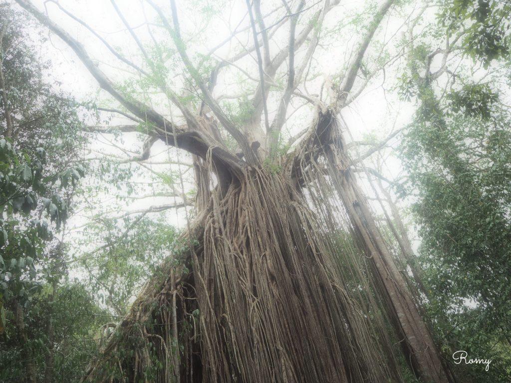 カーテンフィグツリー