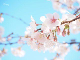 鎌倉・若宮大路沿い。早咲きの玉縄桜と青空の美しいコントラスト【開花時期・見頃:2月上旬〜】