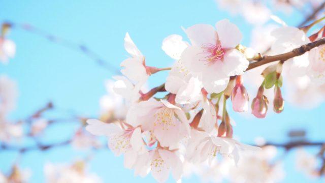 鎌倉・若宮大路の玉縄桜
