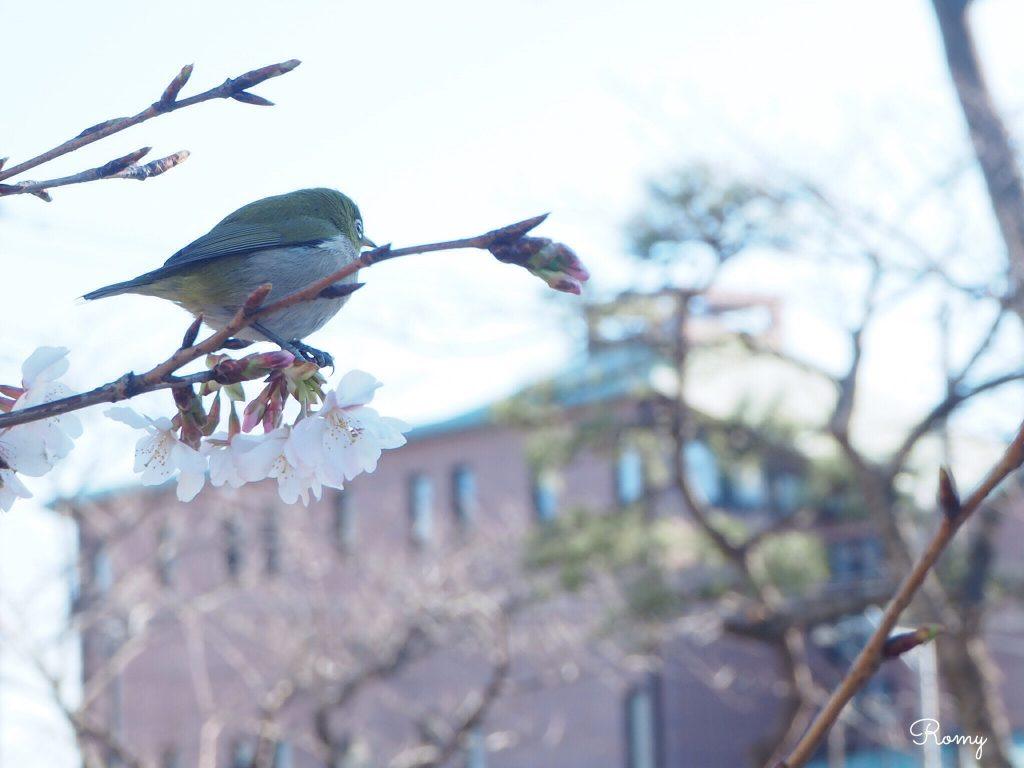 鎌倉の桜とメジロ