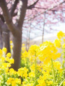 三浦海岸の河津桜と菜の花