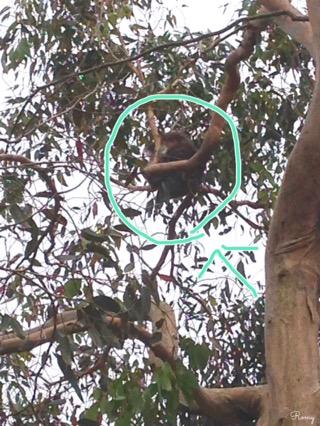 グレートオーシャンロードのコアラ
