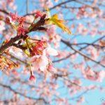 鶴岡八幡宮「太鼓橋」の桜