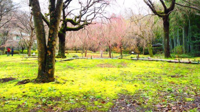 真鶴荒井城址公園のしだれ桜