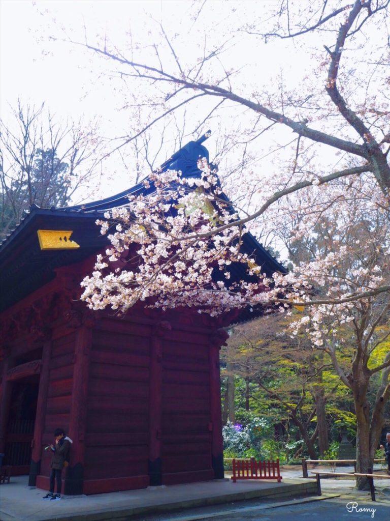 鎌倉・妙本寺の桜