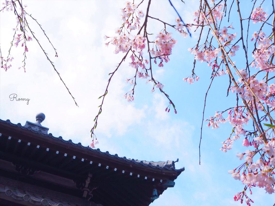 鎌倉・本覚寺の桜