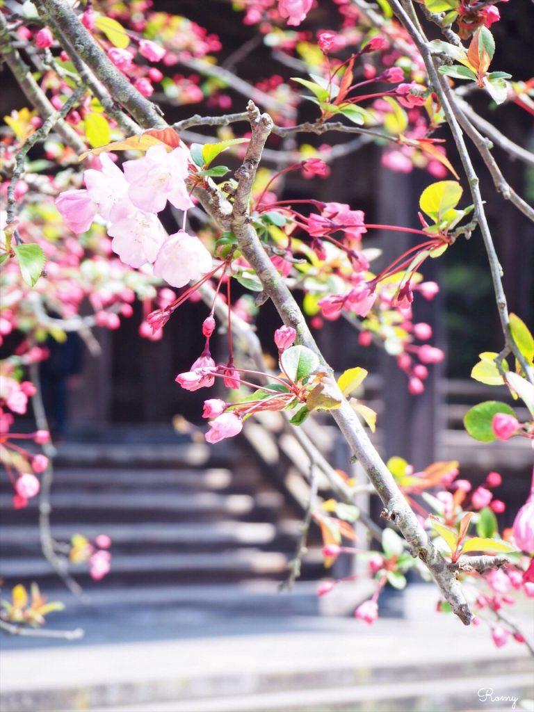 鎌倉・妙本寺のカイドウ