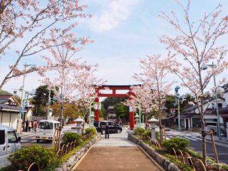 鎌倉若宮大路・段葛の桜