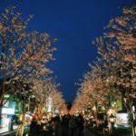鎌倉若宮大路・段葛の夜桜