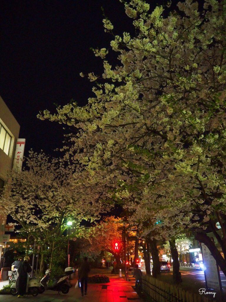 鎌倉・若宮大路の夜桜