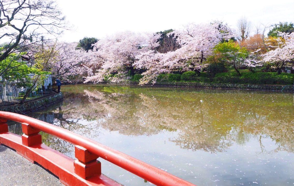 鎌倉鶴岡八幡宮・源平池の桜