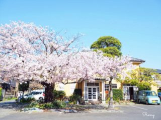 ホテルニューカマクラの桜