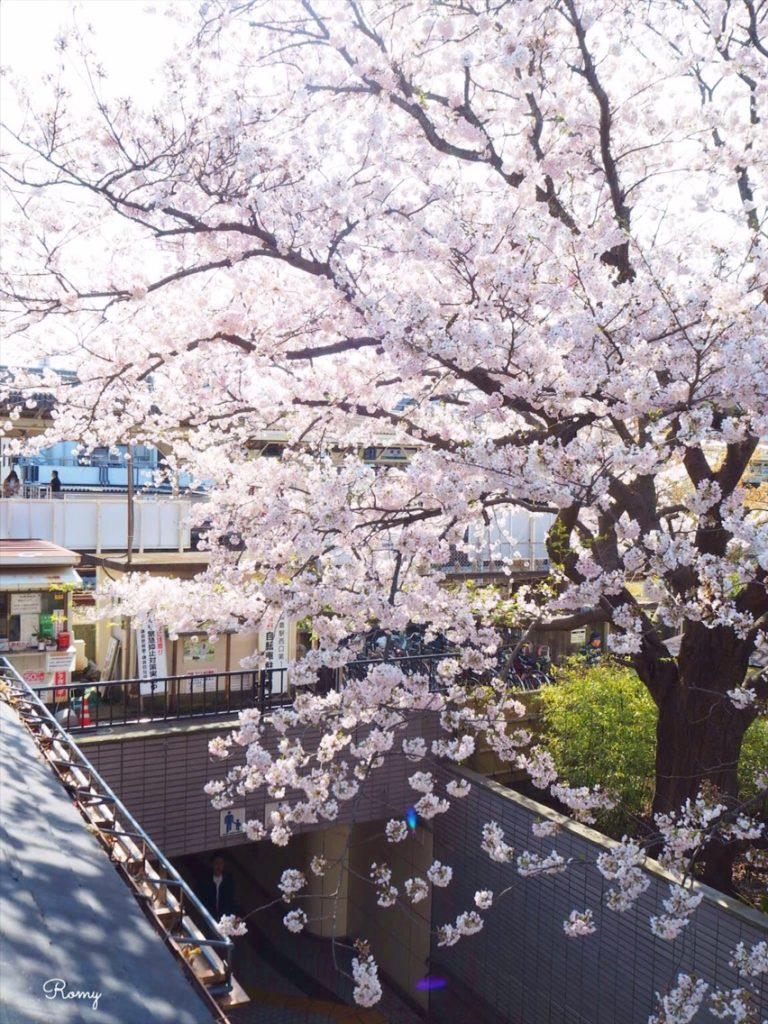 ダンデライオンチョコレート鎌倉店から見える桜