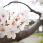 鎌倉・若宮大路公園の桜
