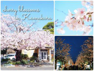 鎌倉駅周辺の桜の名所・おすすめ・穴場スポットを地元民がご紹介!開花時期・見頃も