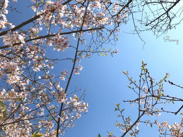 鎌倉・若宮大路の桜