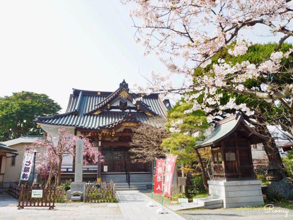 鎌倉・小町「妙隆寺」の桜