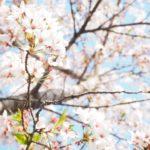 鎌倉の長谷にある「光則寺」の桜