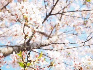 鎌倉長谷「光則寺」の参道に咲く満開の桜と「さくら縁日」【開花時期・見頃:3月下旬〜】