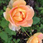 「軽井沢レイクガーデン」のバラ