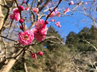 鎌倉大町・梅の名所「妙本寺」で一足先に春の訪れを感じよう【見頃:2月中旬〜】