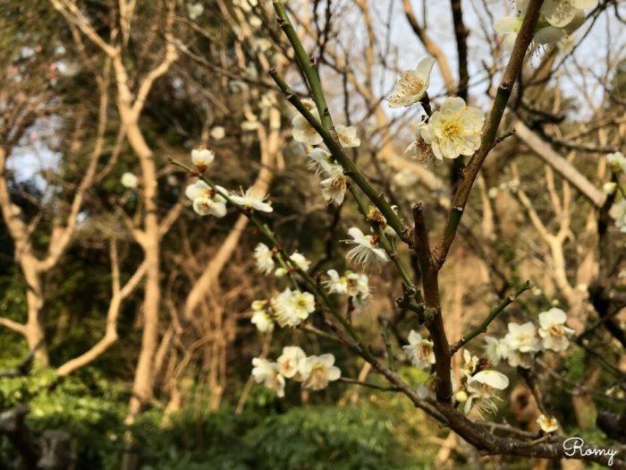 鎌倉・妙本寺の梅