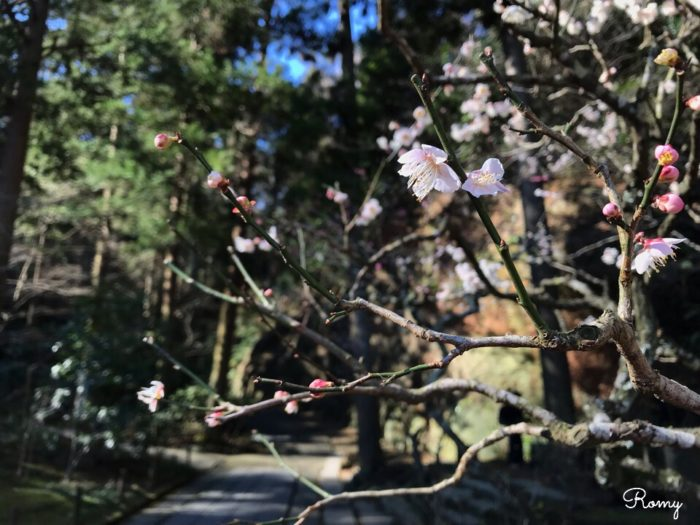 北鎌倉の東慶寺の梅