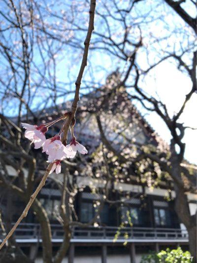 鎌倉の本覚寺の枝垂れ桜
