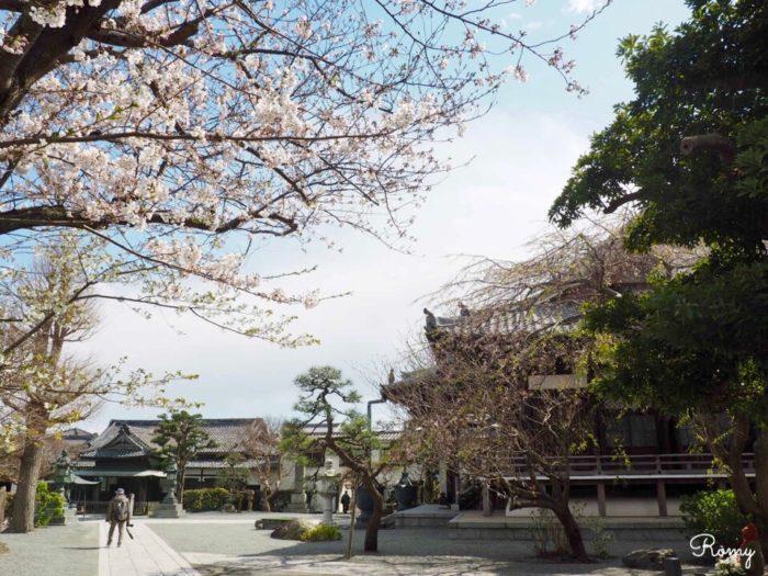 鎌倉の本覚寺のソメイヨシノ