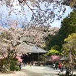 鎌倉の妙本寺のソメイヨシノとカイドウ(海棠)