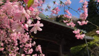 鎌倉の妙本寺のカイドウ(海棠)