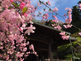 鎌倉桜の名所「妙本寺」のソメイヨシノとカイドウ【開花時期・見頃:3月下旬〜】