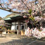 鎌倉の光明寺の桜