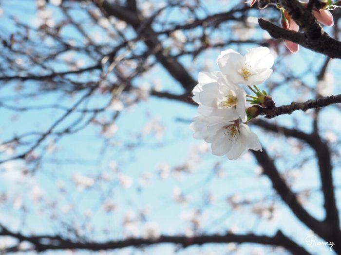 ダンデライオンチョコレート鎌倉店の前にある桜