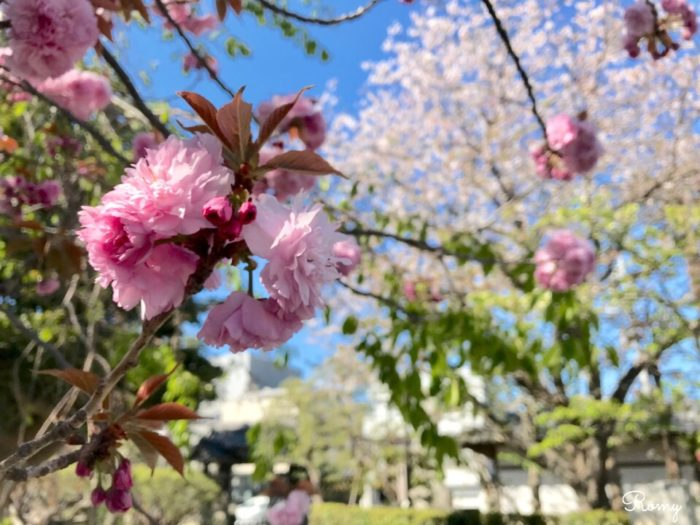鎌倉の本覚寺の八重桜