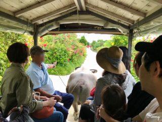 竹富島で水牛車観光