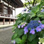 鎌倉本覚寺の紫陽花