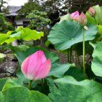 鎌倉本覚寺の蓮の花
