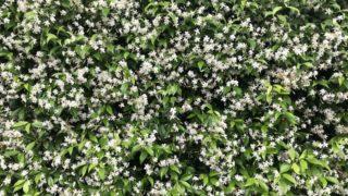 ジャスミンの花