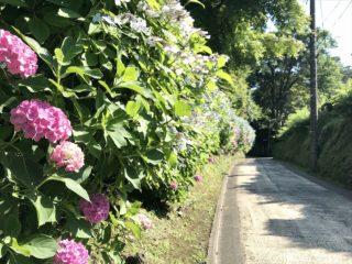 亀ケ谷坂の紫陽花