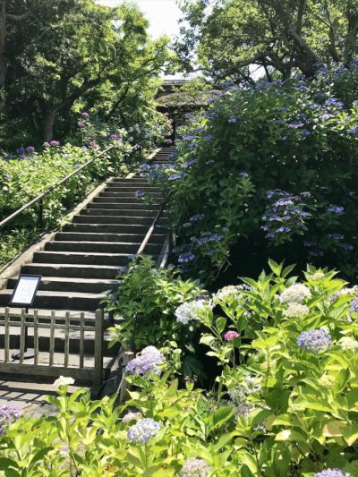 東慶寺の紫陽花
